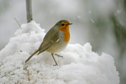 European Robin - Popular Garden Bird