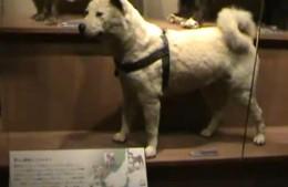 Hachiko in Museum