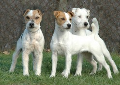 As a working breed Jack Russel Terriers  have a wide range of acceptable appearances leading to the overall health of the breed.