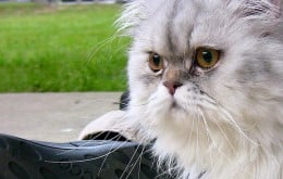 The Persian Cat