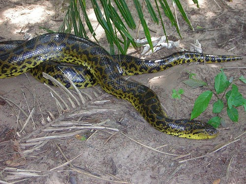 Here is a large specimen of Anaconda and as you can see these snakes do get large.