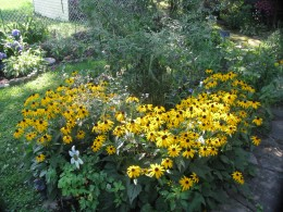 Black Eyed Susan in full bloom