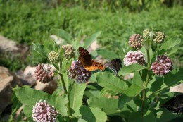 Butterflies flock to milkweed planted near the boat rentals at Long Branch Lake.