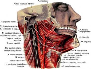 Multiple layers of musculature surround the vagus nerve, keeping it safe.