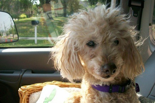 My Precious Buttons Last Ride To The Vet :(  -- December 16, 1995 - August 20, 2010