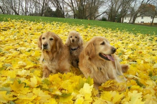 SnowBear, Buttons  & Betsy Enjoying The Fall Colors
