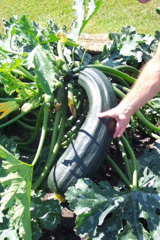 If not harvested frequently, zucchini can grow out of control