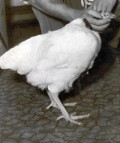 The Strange but True case of Mike the Headless Zombie Chicken - Mystery Files