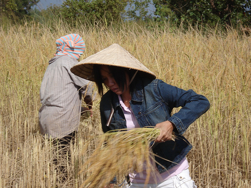 My Golden Skinned Girl Cutting Rice