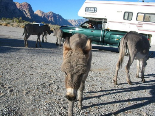 Several burro's just walking around looking to make new friends.