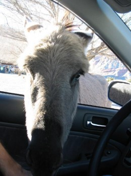 WHOA, they stick their heads right INTO your car looking for food!