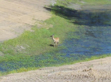 At Bulfrog Pond, we found a deer -- and she found us -- as she took a water break.
