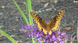 A Butterfly Bush will attract butterflies to your pond area..