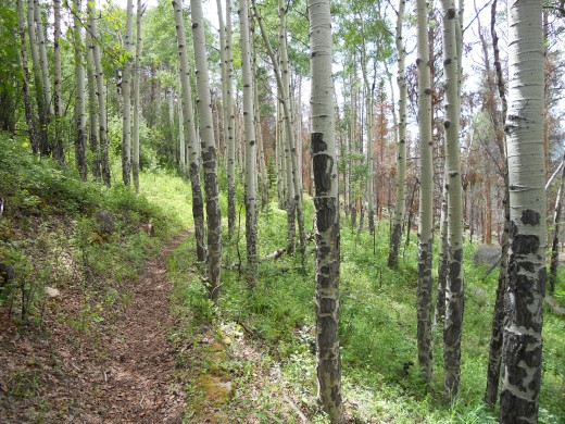 Aspen Grove on Deer Mountain Trail