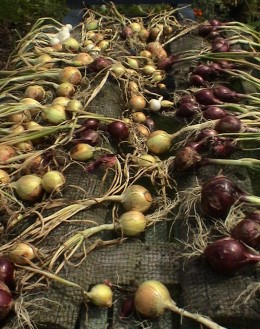 Freshly pulled onions, still with their tops on, all in neat little rows. Photo by raflowers at sxc.hu.