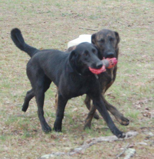 2 dogs overlooked for their looks! Shay is play and a little too energetic at times. Zeke is brindle. Nobody took the time to see past superficial exteriors!