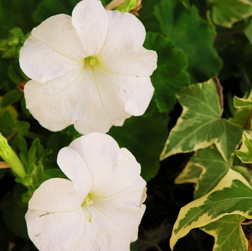 White Petunia and Glacier Ivy share a combination hanging basket.