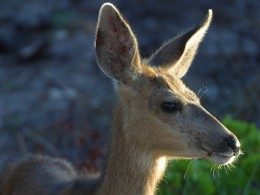 The local mule deer will happily eat your begonias.