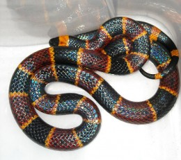 The Eastern Coral Snake or any species of Coral Snake is not for a pet. It should only be kept by professional snake keepers or in a zoo or reptile exhibit. The Eastern Coral Snake is one of the most dangerous snakes in the USA.
