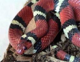 This is a Scarlet King Snake. Notice the difference in their coloring. If you ever have any doubt let the snake along.