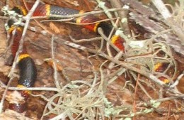 Notice that the Eastern Coral Snake in this photo is almost hidden. So it is quite easy to be right near one of these snakes and not even notice.