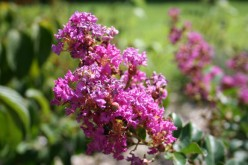 How to Care for Crapemyrtle or Crepe Myrtle Trees