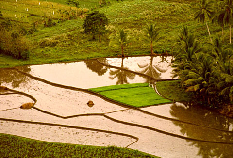 A rice field ready for planting, as seen from the top of the Chocolate Hills.
