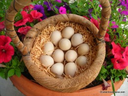 You can purchase Guinea eggs at  Chicken Houses Plus 888-595-5306