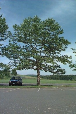 Known for its ability to deal with polluted air, water and soil! great for street trees and great shade trees!