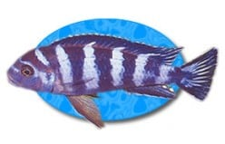 Keeping and Caring for a Demasoni Cichlid