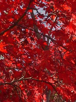 Japanese maple fall foliage