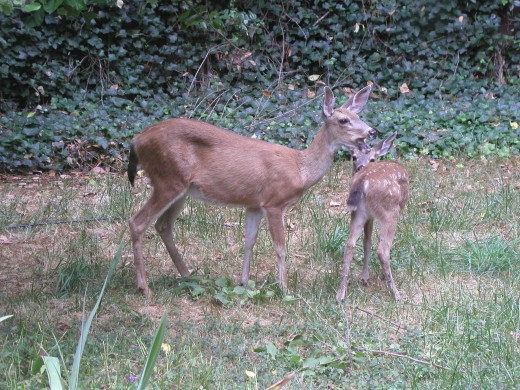 Deer in backyard - permanent residents