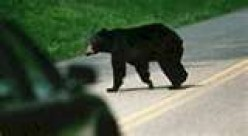 Sightings of bears are not unusual in Kings Canyon National Park.