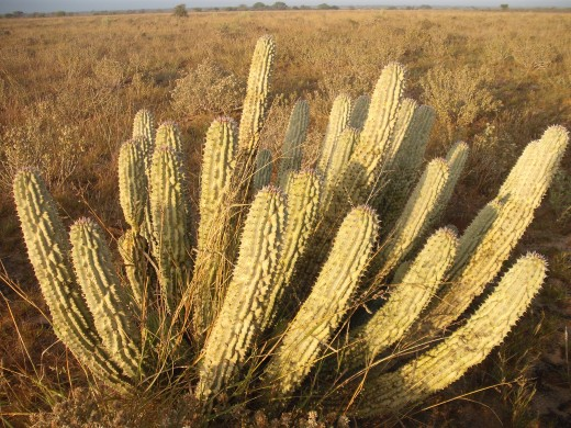 Hoodia Plant