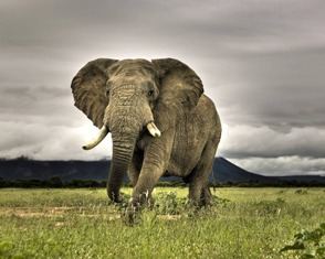 The Elephant is the symbol of the Republican Party.  It represents power, fearless, helpful, a leader of the world.