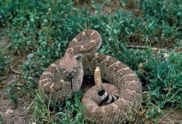 Western Diamondback Rattlesnake Ready To Strike