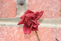 Dried roses are often used in potpourri mixes.