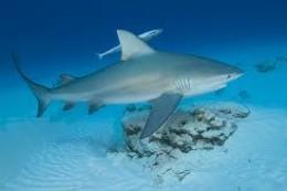 Large Bull Shark