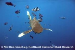 The Beautiful but deadly Oceanic White Tip