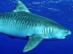 Tiger Shark showing the bars that earned the name.