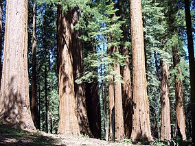 Giant Sequoia tress at Sequoia National Park