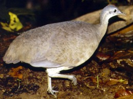 Greater Tinamou