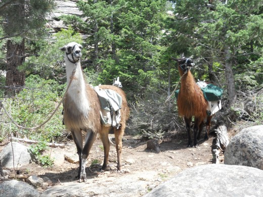 Llama's Used by the National Park Service Rangers