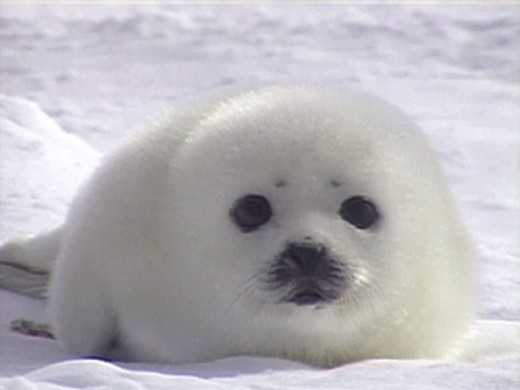 Baby Seal too young for harvesting.