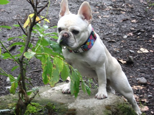 Lulu, a pretty-face French Bulldog regular at Conner's Bog--almost one year old.