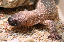 Mexican Beaded lizard is a close cousin of the Gila Monster.