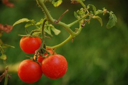 Tomatoes sold on the vine have a sweeter, more complex flavor.