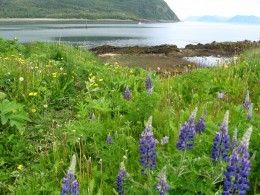 The sumptuous lupines abound around the village.