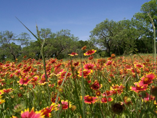 Indian Paint Brush Texas Wildfowers