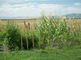 The corn in our garden that was a favorite snack for invading raccoons.